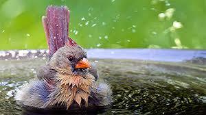 Backyard Wild Birds Wild Birds Summer And Water The Backyard Naturalist