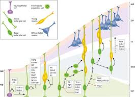 cerebral cortex expansion and folding what have we learned the