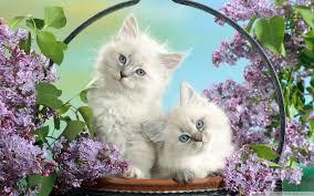 beautiful kittens beautiful burmese kittens 4k hd desktop wallpaper for 4k ultra