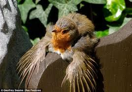 Seeking Robin Sun Seeking Breasted Robin Makes The Most Of The Weather