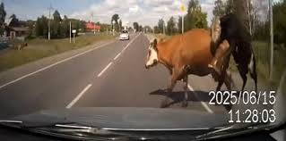 you know you u0027re having a bad day when you crash into two cows