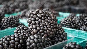 growing blackberries u2022 nifty homestead