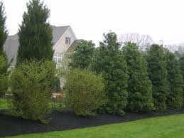 Backyard Privacy Trees Best 25 Natural Privacy Fences Ideas On Pinterest Privacy