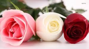 wallpaper flower red rose 41 pink red rose wallpaper