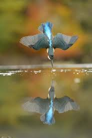 photographer alan mcfadyen takes perfect picture of a kingfisher