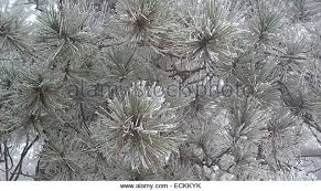 frosted pine forest stock photos frosted pine forest stock