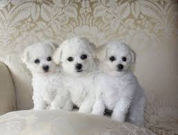 bichon frise jack russell cross temperament bichon frise poodle puppies 85 doggyman video dailymotion
