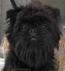 affenpinscher missouri affenpinscher dog for adoption in san pedro ca adn 414878 on