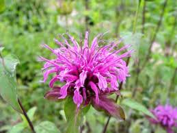 Flower Balm - facts about bee balm hgtv