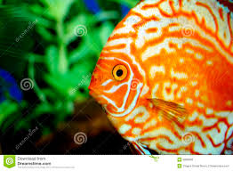 beautiful orange fish royalty free stock photos image 9088848