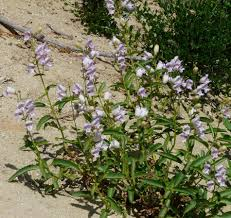 utah native plants penstemons for california gardens