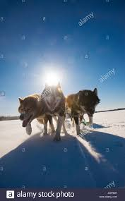 canadian inuit dogs pulling sled across lake wintergreen