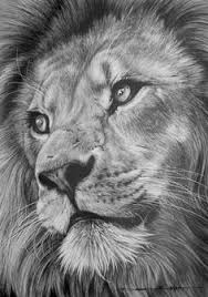 lion pencil drawing pencil drawings pencil and lion