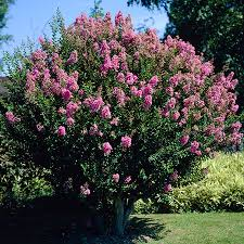 Pink Spring Flowering Shrubs - flowering trees u0026 small ornamental trees perfect for your area