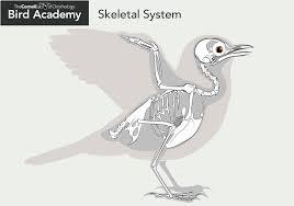 Anatomy And Physiology Skeletal System Test All About Bird Anatomy Bird Academy U2022 The Cornell Lab