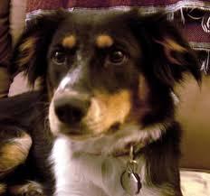 australian shepherd rescue nc about us dog training books u0026 videos