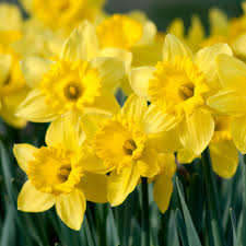 daffs for naturalizing dutch flower bulbs at wholesale prices