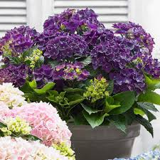 purple hydrangea hydrangea purple j bulbs