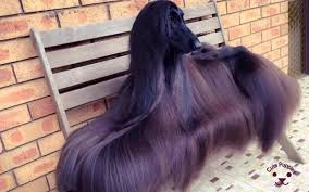 afghan hound hairstyles dog images for dog lovers u2013 cute puppies now