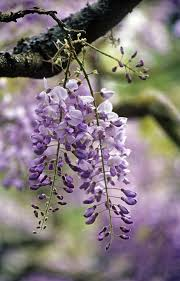 gardening should you fertilize wisteria to help it bloom the