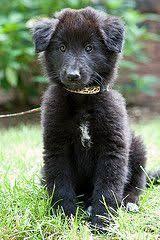 belgian sheepdog puppies for sale ds 44 belgian sheepdog puppy my dog show pinterest
