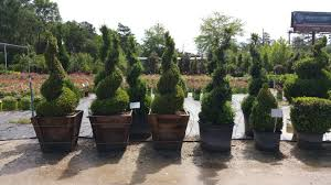 Horse Topiary There Are Many Topiaries Underway In Various Stages Of Growth In