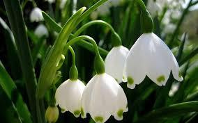 canula fiore fiori medicinali 28 images fiori di bach piante medicinali