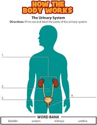urinary system activity png lekser kroppen pinterest body