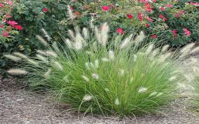 white ornamental grass for sale naples
