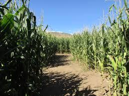 Denver Botanic Gardens Corn Maze Corn Maze Go Inside The Denver Botanic Garden S Chatfield Farm