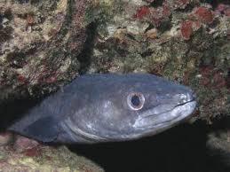 comment cuisiner le congre poisson congre un poisson difficile