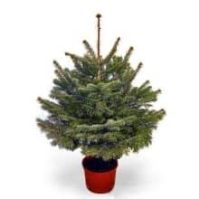 fraser fir tree potted fraser fir trees