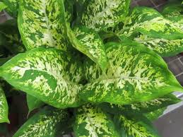 this month in diseases dieffenbachia and aglaonema u2013 greenhouse