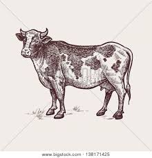 vector illustration cattle vector u0026 photo bigstock