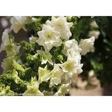 proven winners gatsby pink oakleaf hydrangea quercifolia live