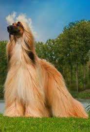 does an afghan hound shed afghan hound photo searching dogs pinterest best afghan