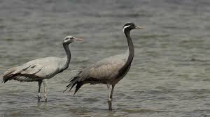 demoiselle crane anthropoides virgo one and a juvenile