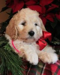 goldendoodle puppy virginia doodle my future coming soon in 2016 goldendoodles