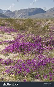 sand verbena wild flowers anzaborrego desert stock photo 10314859