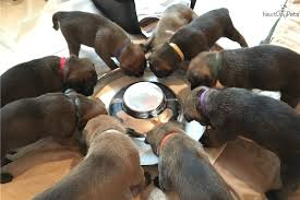 belgian malinois puppies for sale 2016 puppies for sale from strom haus kennels member since july 2016