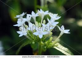 pentas flower penta stock images royalty free images vectors