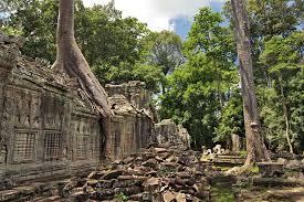 photo climber trees ta prohm ruins at angkor wat cambodia