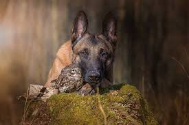 belgian shepherd killed a belgian malinois and an owl formed an unlikely friendship pics