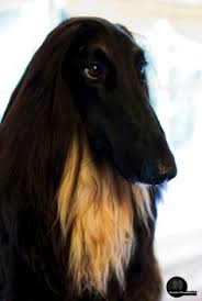 afghan hound apartment sweet dreams afghan hounds pinterest sweet dreams afghan