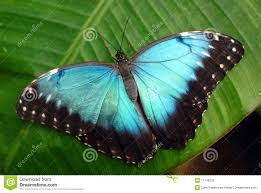 Blue And Green Butterfly - vibrant blue butterfly stock photography image 11749232