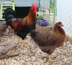 choosing your chickens chickens guide omlet uk