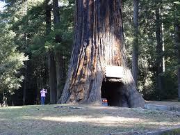 Chandelier Tree California Drive Thru Redwood Tree World Chandelier Tree Forest