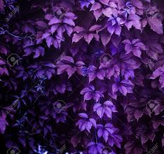 purple climbing plant full screen as background stock photo