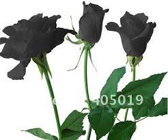 Black Rose Flower Plants Centerpieces Picture More Detailed Picture About Black