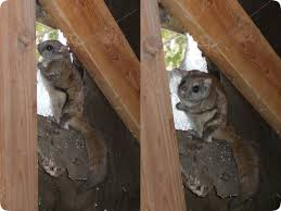How To Hunt Squirrels In Your Backyard by Flying Squirrel Removal How Do You Get Rid Of Flying Squirrels